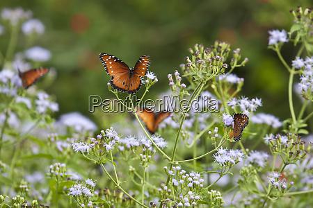 queen danaus gilippus butterflies nectaring in
