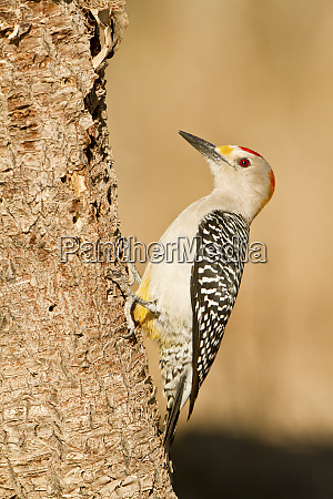 golden fronted woodpecker melanerpes aurifrons male