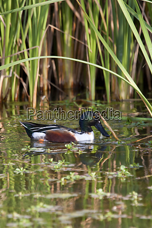 northern shoveler anas clypeata male in