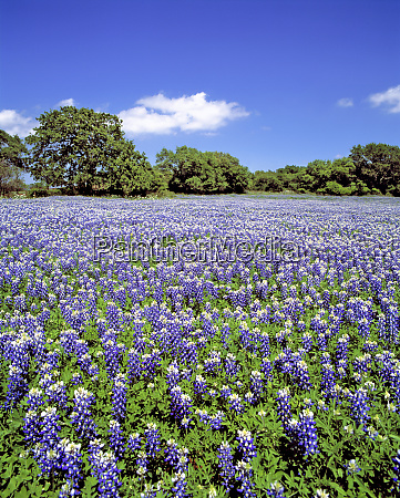 usa texas llano bluebonnets bathe in