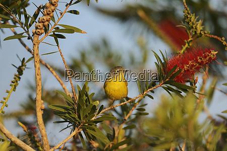 nashville warbler vermivora ruficapilla adult
