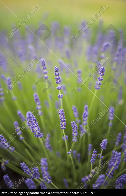 lavendelpflanzen. - 27713297