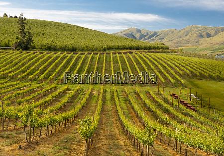 usa washington lake chelan vineyard in