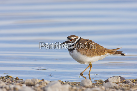 wyoming sublette county killdeer wading in