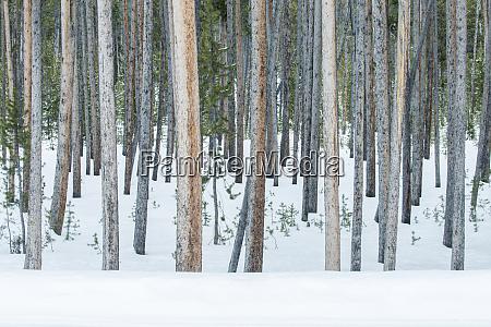 usa wyoming yellowstone national park lodgepole