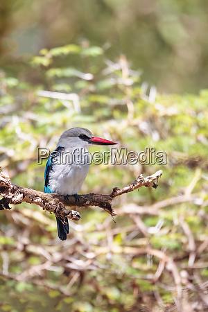 wald eisvogel AEthiopien afrika tierwelt