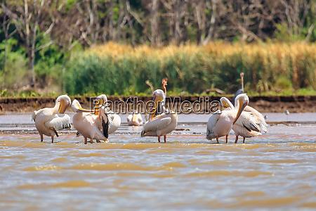 grosse weisse pelikane AEthiopien afrika tierwelt