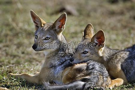 schwarzrueckenschakal canis mesomelas masai mara kenia