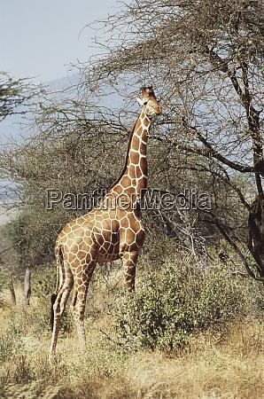 kenia samburu national reserve reticulated giraffe