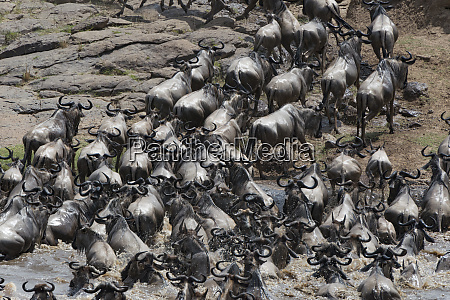 kenya africa wildebeest migrate across the