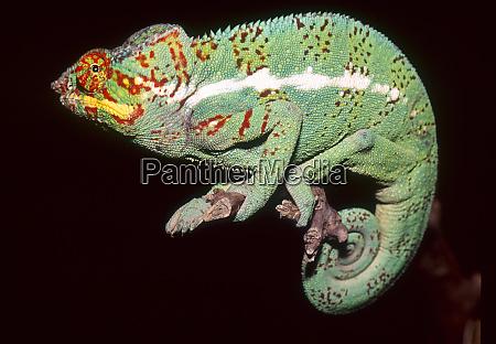 panther chamaeleon furcifer pardalis madagaskar afrika