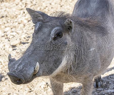 afrika namibia okapuka ranch portraet von