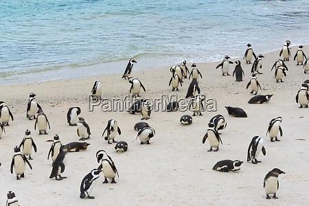 afrikanischer pinguin simon es town suedafrika