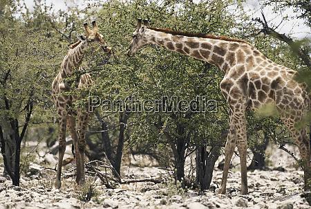suedafrika krueger nationalpark giraffen giraffa camelopardalis