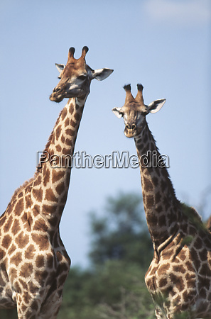 suedafrika krueger nationalpark giraffengiraffa camelopardalis grosse
