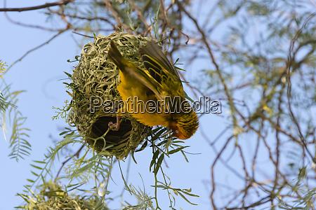 weber mit nest swasiland