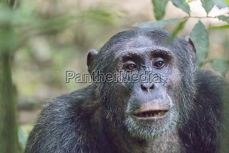 afrika uganda kibale forest nationalpark schimpanse