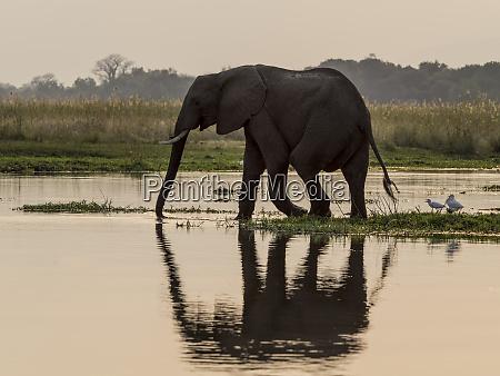 afrika sambia elefant im sambesi fluss
