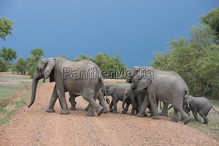 afrika sambia south luangwa nationalpark mfuwe