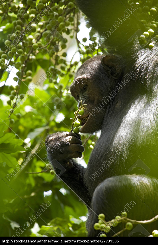 afrika, uganda, kibale, nationalpark, ngogo, schimpansen-projekt., umgeben, von, mit - 27731505