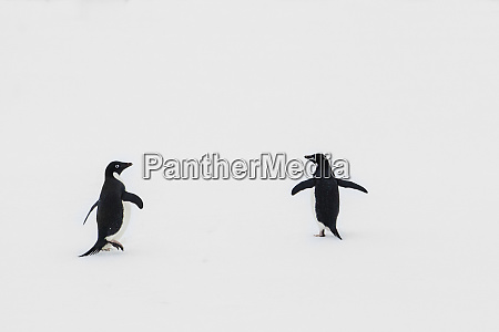 antarctica two adelie penguins on sea