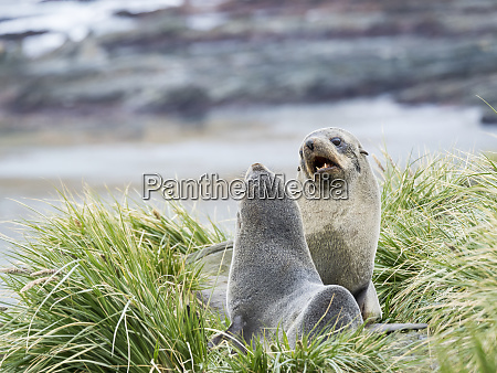 antarctic fur seal arctocephalus gazella in