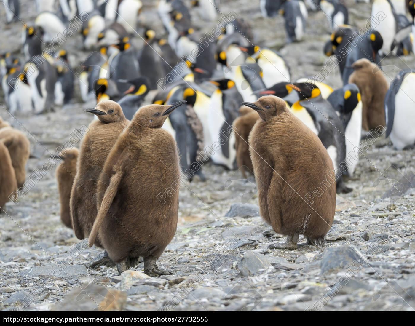 king, penguin, (aptenodytes, patagonicus), auf, der - 27732556