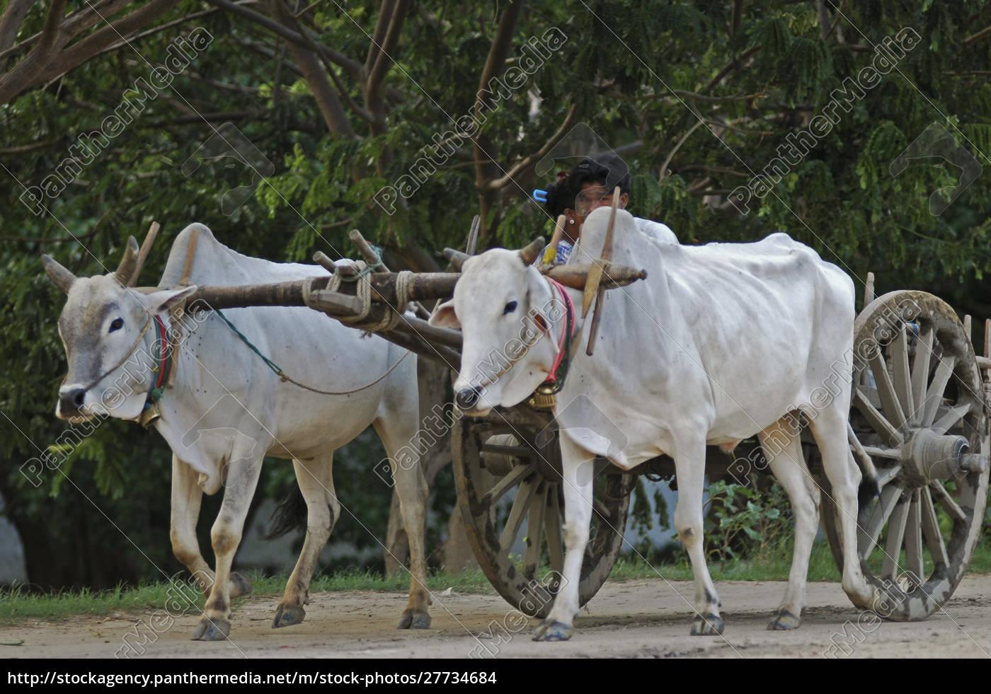 myanmar, mandalay, weiße, ochsen, ziehen, einen, wagen - 27734684