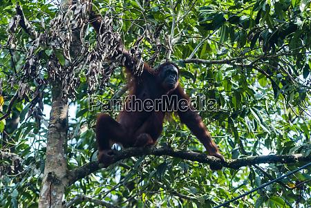 orang utan pongo pygmaeus semenggoh nature