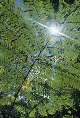 madagascar amalanazaotra national park tree ferns