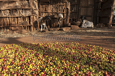 coffee beans being dried konso family