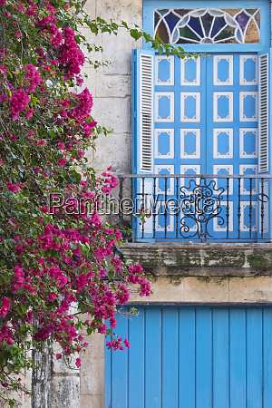cuba havana bougainvillea blooms near a