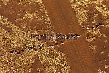 namibian desert herd of plains zebra