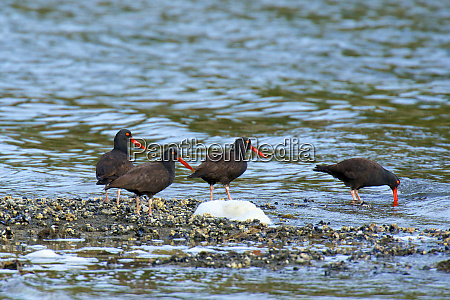 the black oystercatcher haematopus bachmani is