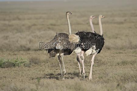 africa tanzania ngorongoro conservation area three
