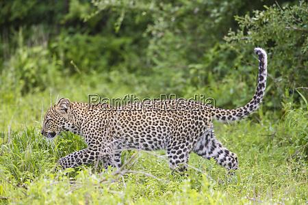 africa tanzania juvenile african leopard panthera