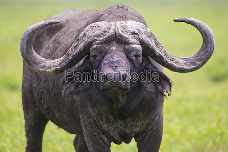 africa tanzania african buffalo cape buffalo