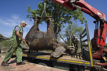 tranquilized elephants loxodonta africana being loaded