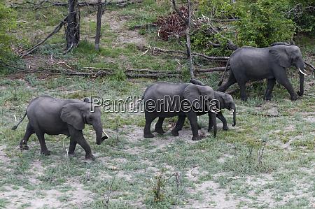 afrikanische elefanten loxodonta africana luftaufnahme okavango