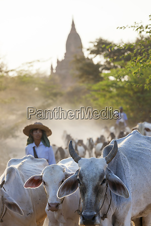 driving cattle home ancient temple city