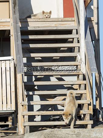 schlittenhunde in der kleinstadt uummannaq nordwestgroenland