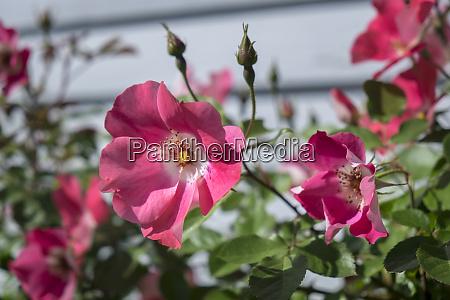 pink rose busch vereinigte staaten von