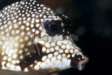 glatter stammfisch karibik
