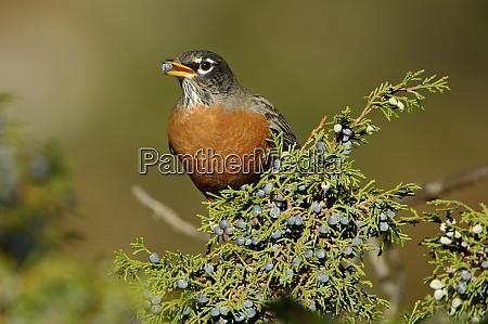 amerikanischer robin turdus migratorius maennlich essen