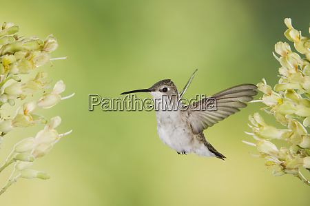 black chinned hummingbird archilochus alexandri female