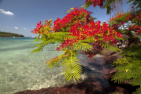 flamboyant christmas tree delonix regia at
