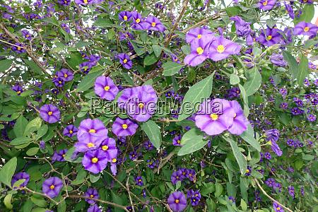 blauer kartoffelbusch oder paraguay nachtschatten lycianthes