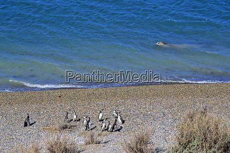 south america argentina valdes peninsula penguin