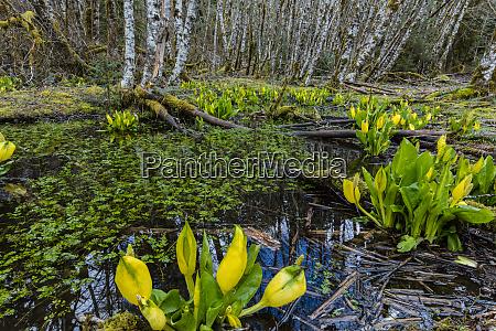 skunk cabbage and alder forest in