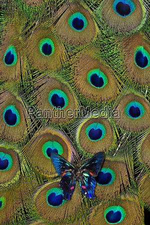 meliboeus swordtailancyluris meliboeus butterfly on peacock
